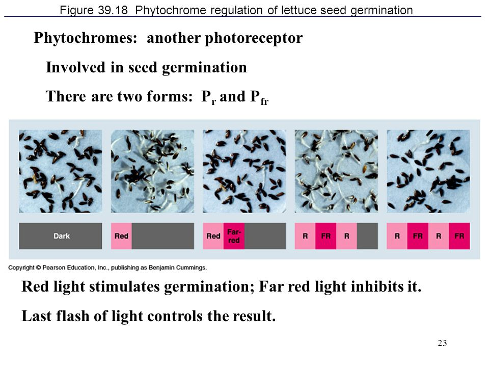 Figure 39.18 Phytochrome regulation of lettuce seed germination