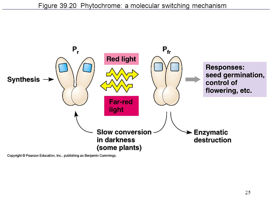 Figure 39.20 Phytochrome: a molecular switching mechanism