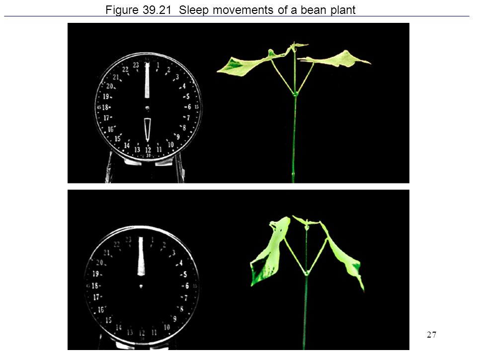 Figure 39.21 Sleep movements of a bean plant