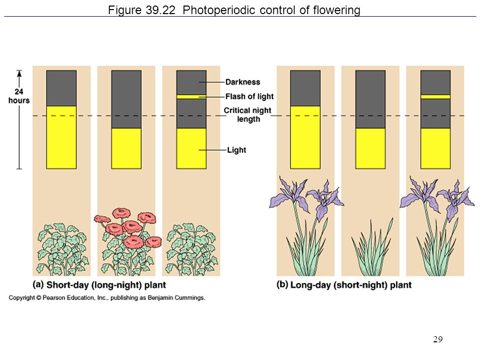 Figure 39.22 Photoperiodic control of flowering