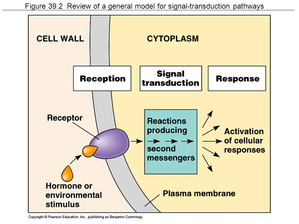 Figure 39.2 Review of a general model for signal-transduction pathways