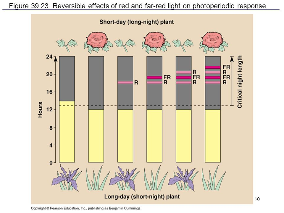 Figure 39.23 Reversible effects of red and far-red light on photoperiodic response