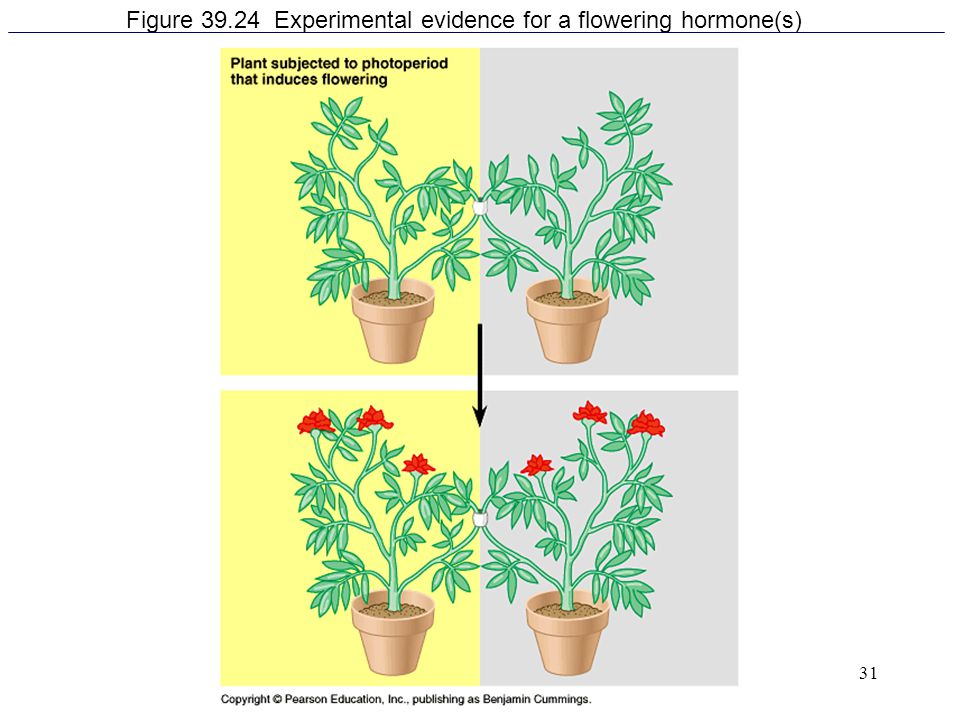Figure 39.24 Experimental evidence for a flowering hormone(s)