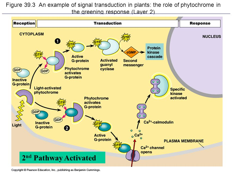 Figure 39.3 An example of signal transduction in plants: the role of phytochrome in the greening response (Layer 2)