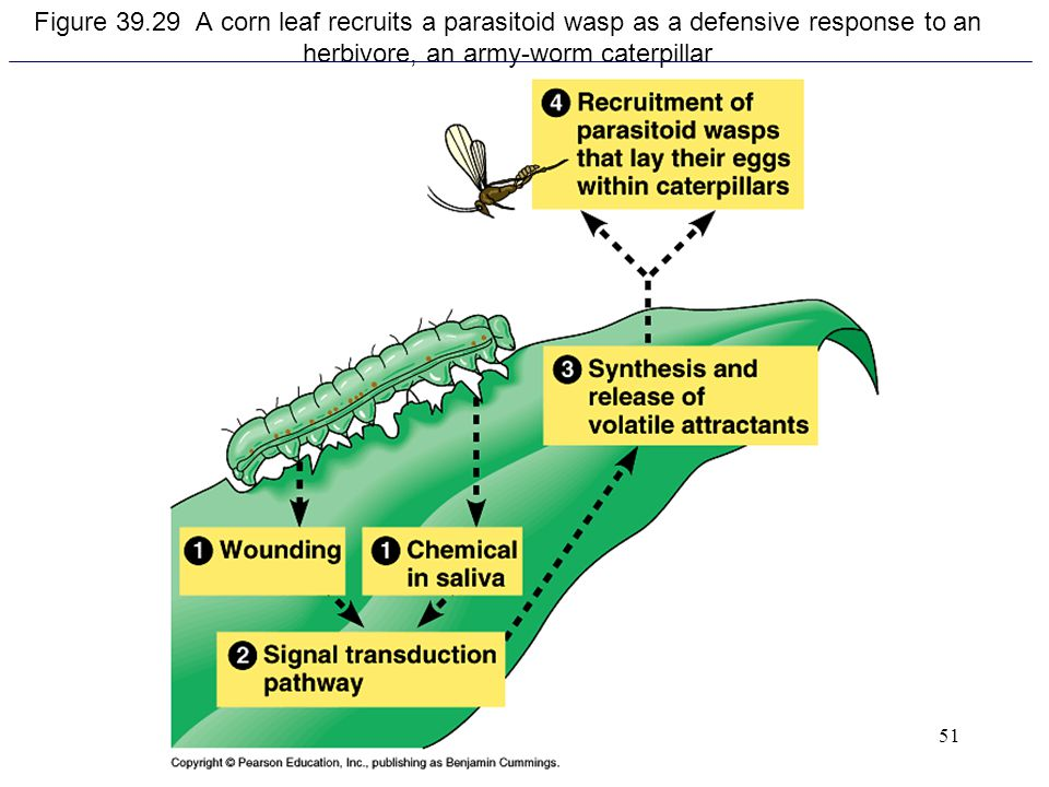 Figure 39.29 A corn leaf recruits a parasitoid wasp as a defensive response to an herbivore, an army-worm caterpillar