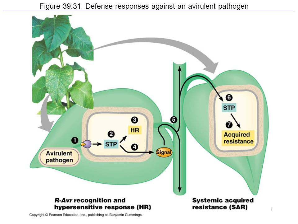 Figure 39.31 Defense responses against an avirulent pathogen