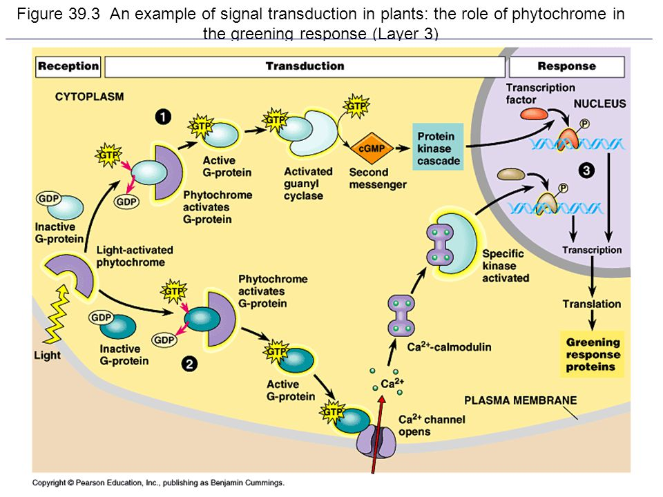 Figure 39.3 An example of signal transduction in plants: the role of phytochrome in the greening response (Layer 3)