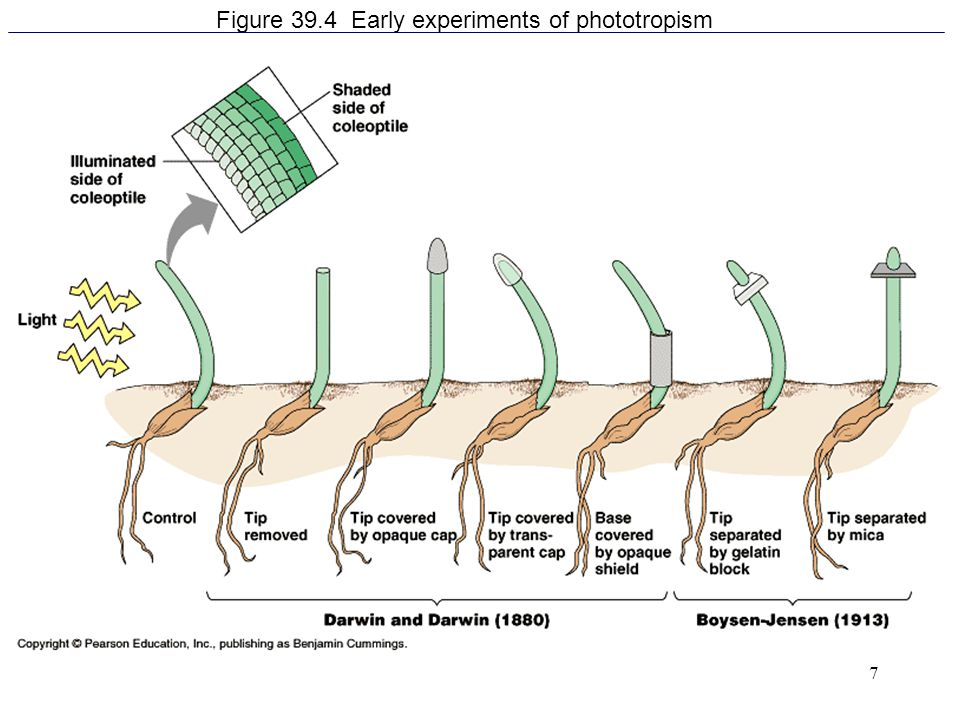 Figure 39.4 Early experiments of phototropism