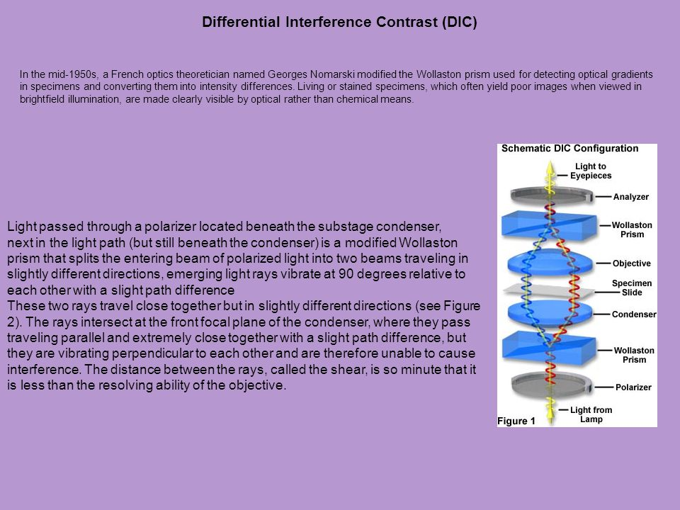 Differential Interference Contrast (DIC)