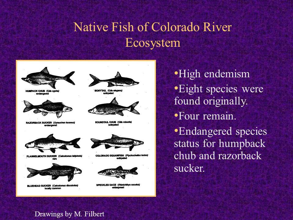 Native Fish of Colorado River Ecosystem