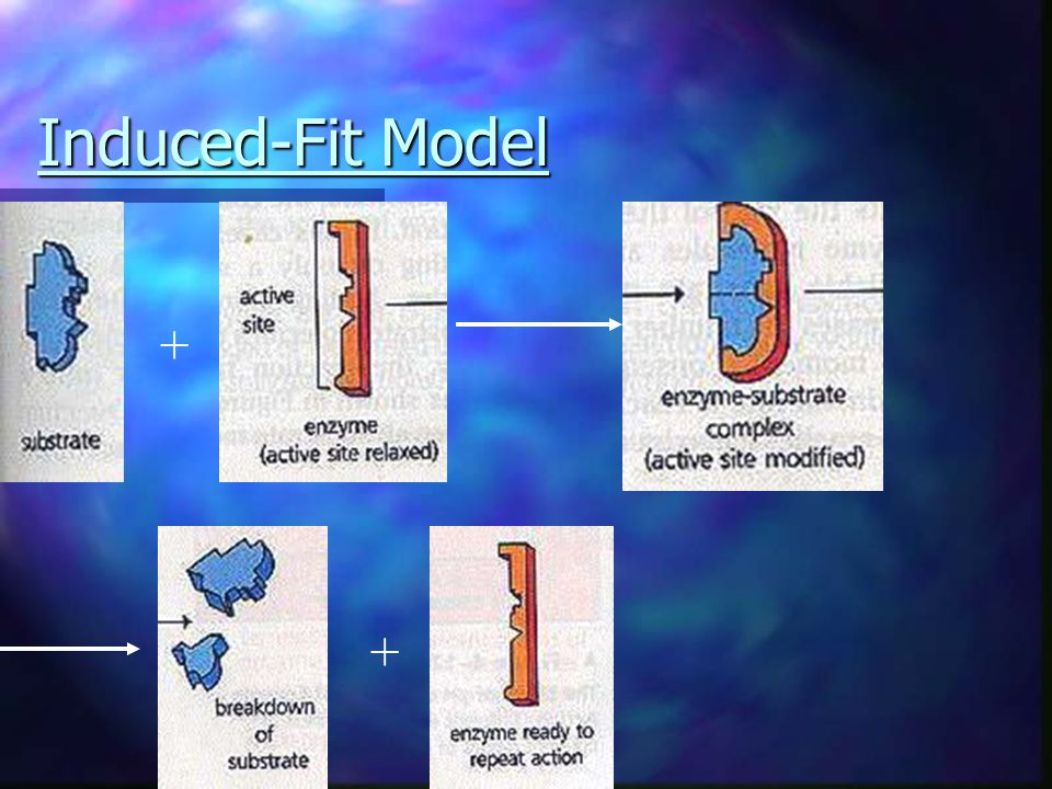 Induced-Fit Model + +