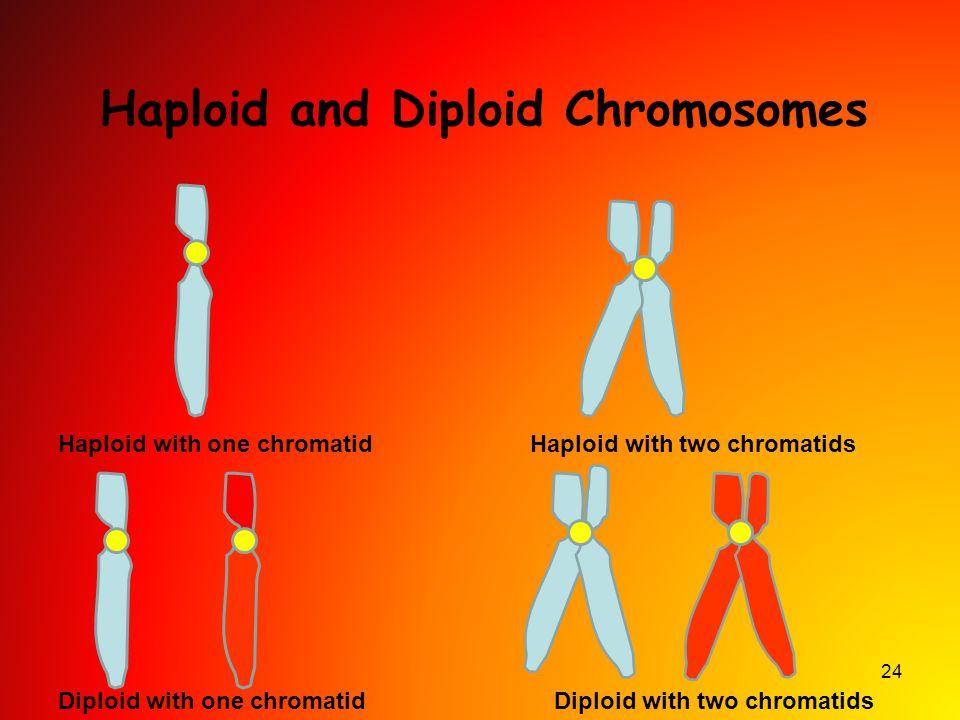 Haploid and Diploid Chromosomes