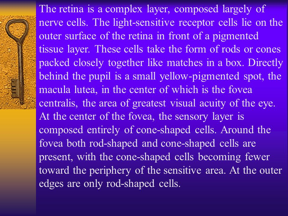 The retina is a complex layer, composed largely of nerve cells