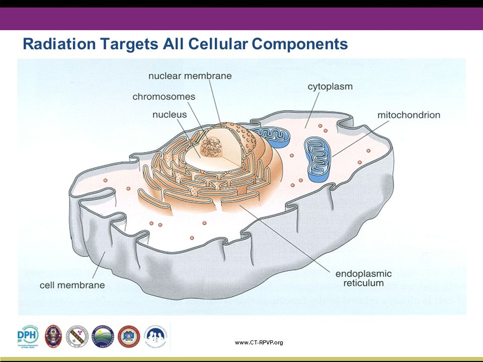 Radiation Targets All Cellular Components