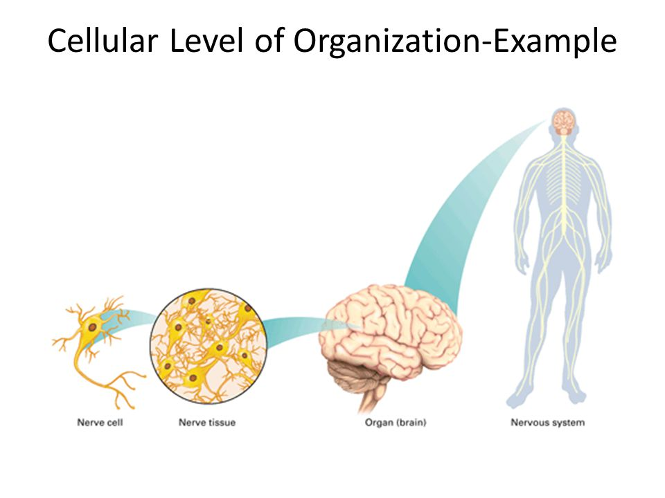 Cellular Level of Organization-Example