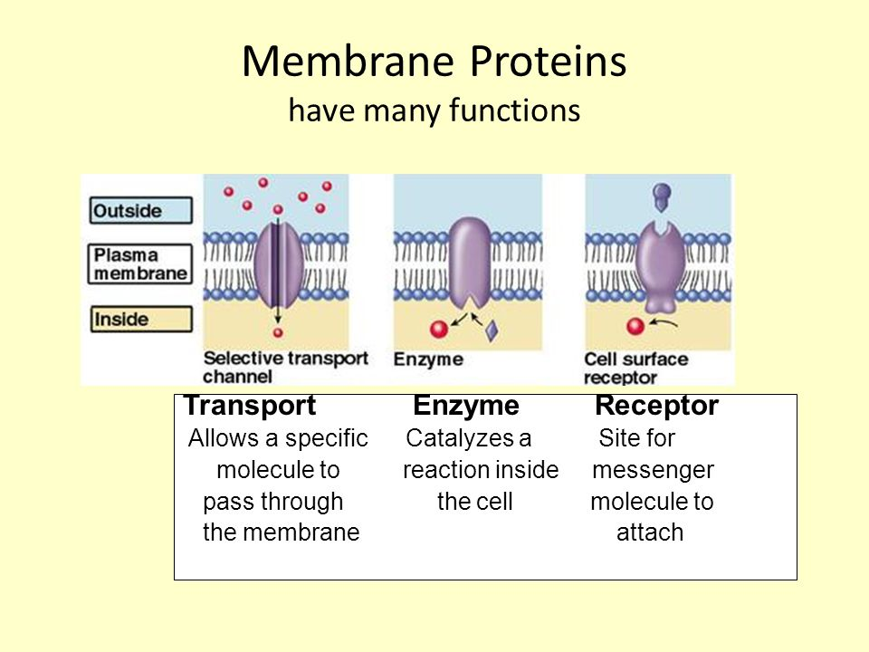Membrane Proteins have many functions