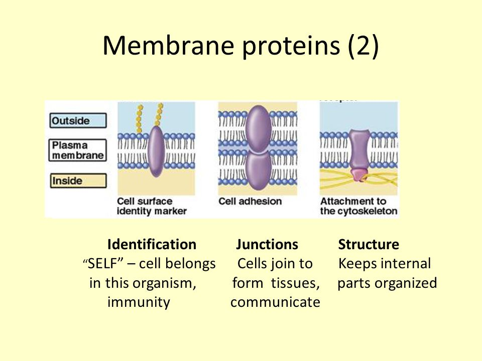 Membrane proteins (2) Identification Junctions Structure