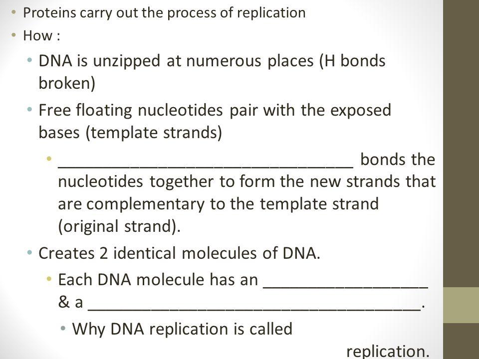 DNA is unzipped at numerous places (H bonds broken)