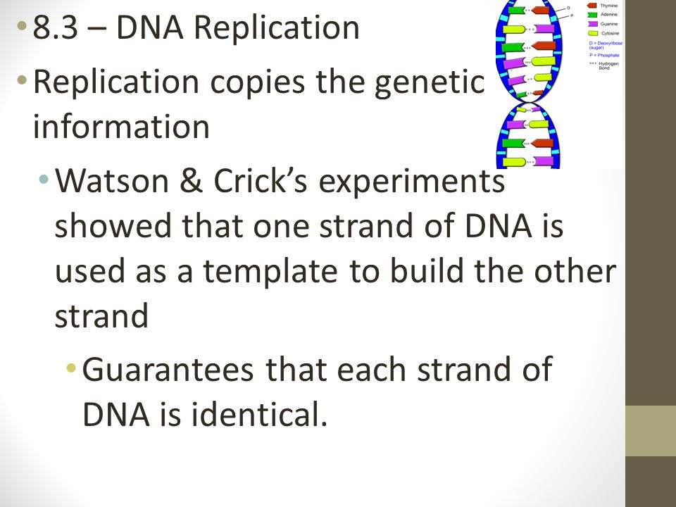 8.3 – DNA Replication Replication copies the genetic information.