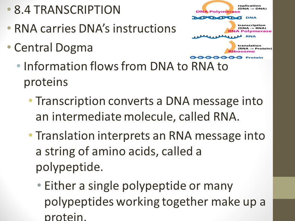 8.4 TRANSCRIPTION RNA carries DNA's instructions. Central Dogma. Information flows from DNA to RNA to proteins.