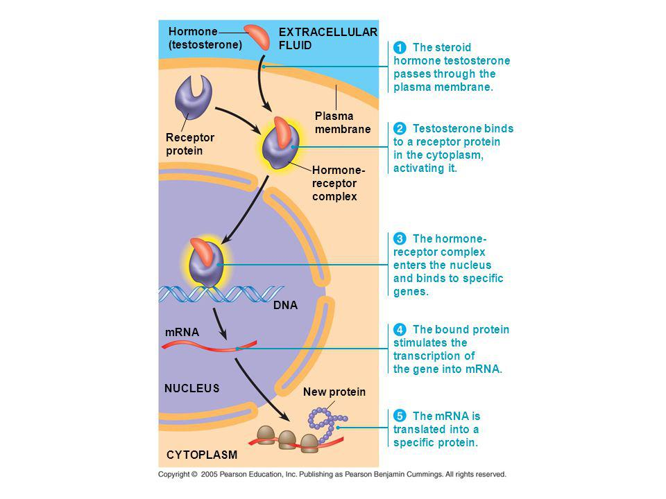 Hormone (testosterone) EXTRACELLULAR. FLUID. The steroid. hormone testosterone. passes through the.
