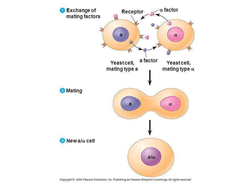 Exchange of mating factors. a factor. Receptor. a. a. a factor. Yeast cell, mating type a. Yeast cell,