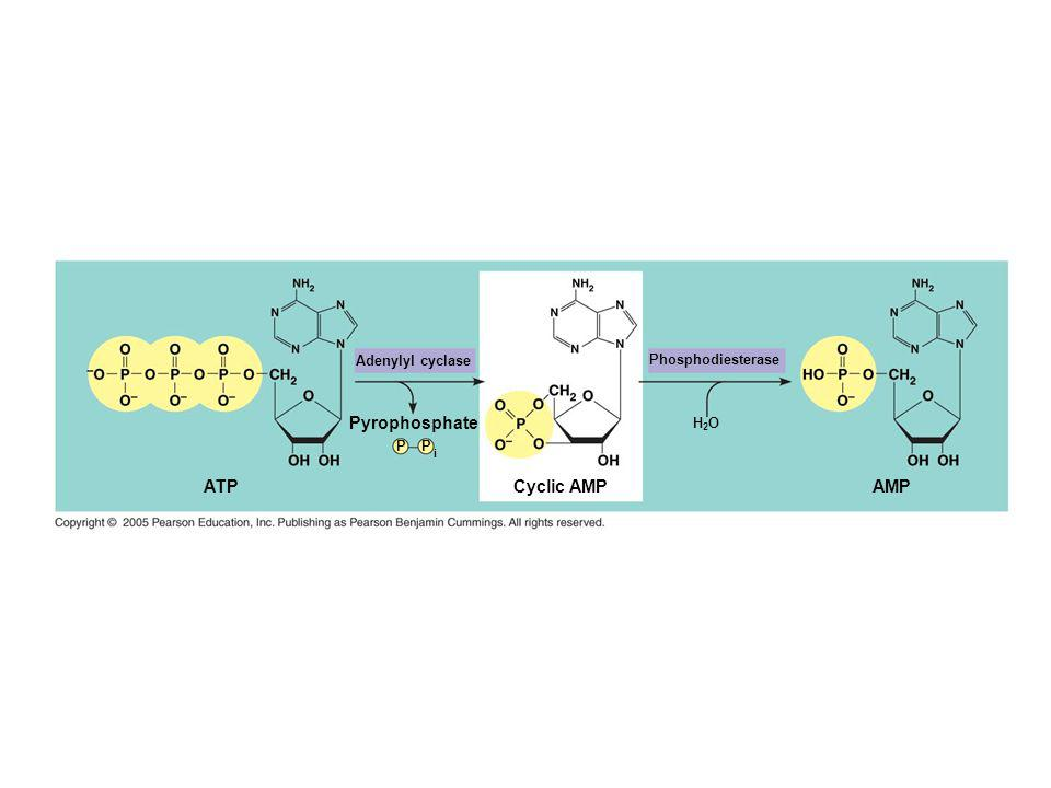 Pyrophosphate ATP Cyclic AMP AMP Adenylyl cyclase Phosphodiesterase