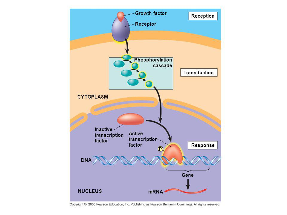Growth factor Reception. Receptor. Phosphorylation. cascade. Transduction. CYTOPLASM. Inactive.