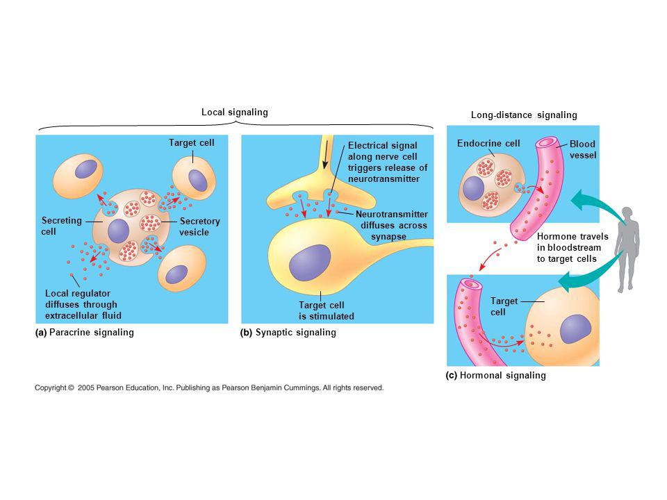 Local signaling Long-distance signaling. Target cell. Electrical signal. along nerve cell. triggers release of.