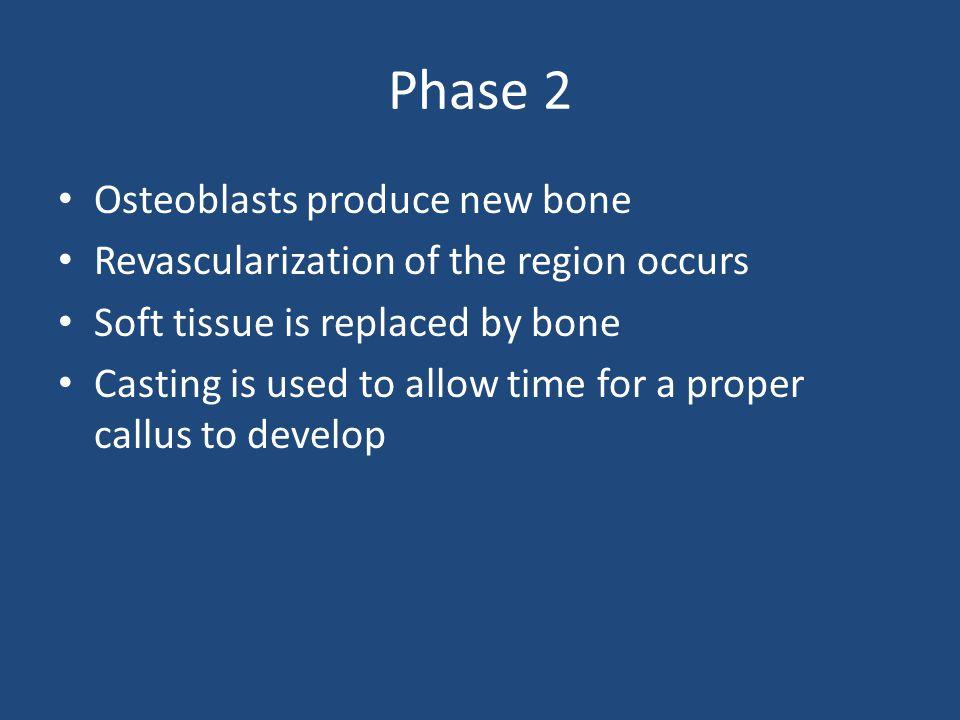 Phase 2 Osteoblasts produce new bone