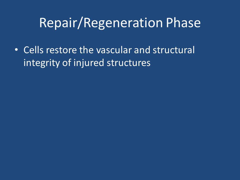 Repair/Regeneration Phase