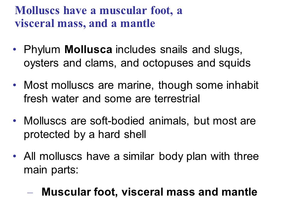 Molluscs have a muscular foot, a visceral mass, and a mantle