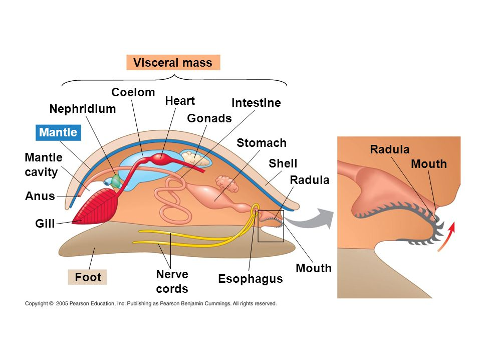 Visceral mass Coelom. Heart. Intestine. Nephridium. Gonads. Mantle. Stomach. Radula. Mantle.
