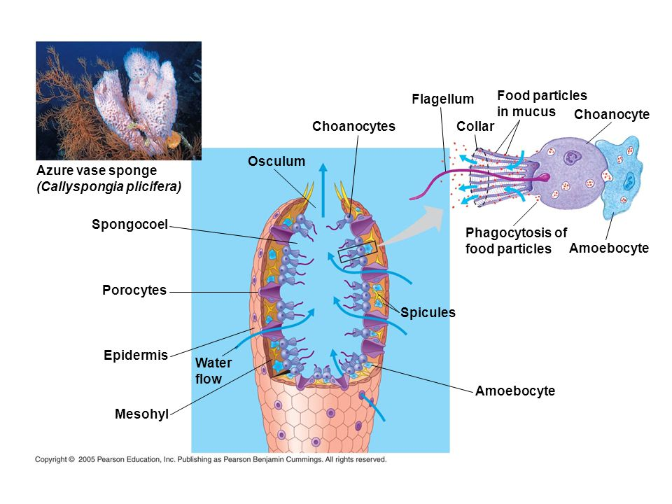Flagellum Food particles. in mucus. Choanocyte. Choanocytes. Collar. Osculum. Azure vase sponge.