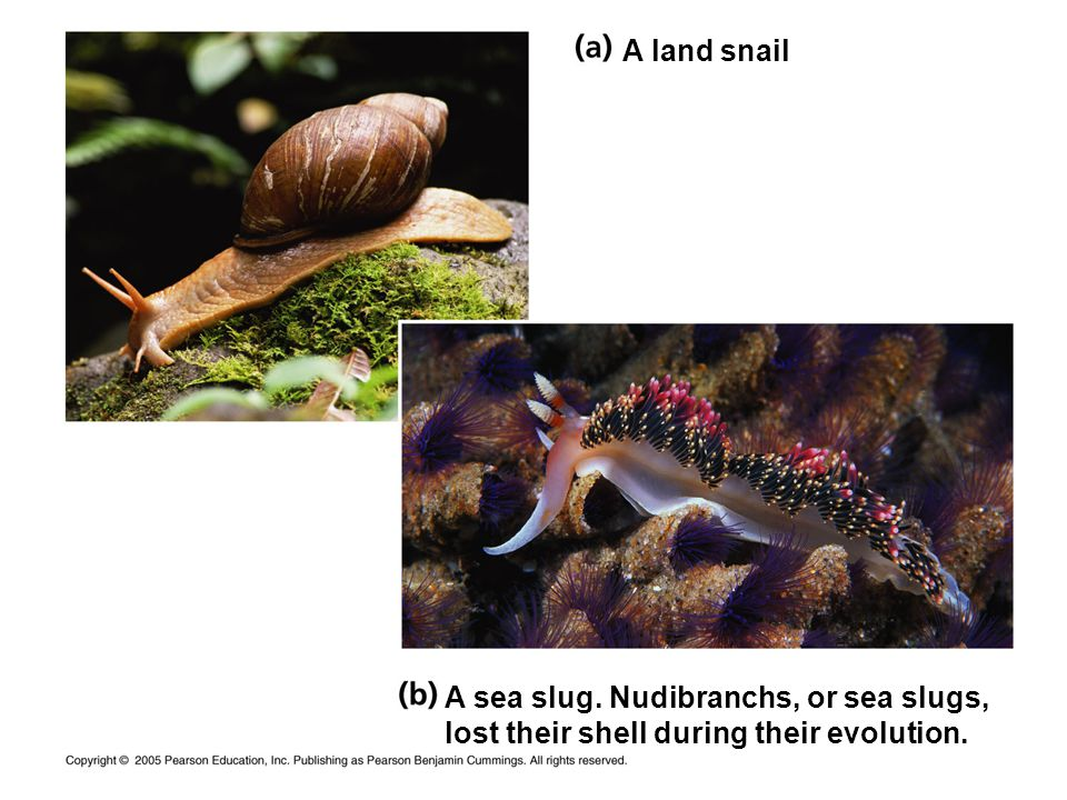 A land snail A sea slug. Nudibranchs, or sea slugs, lost their shell during their evolution.