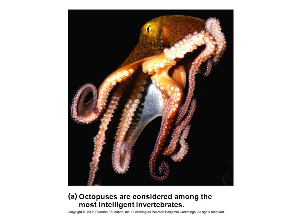 Octopuses are considered among the most intelligent invertebrates.