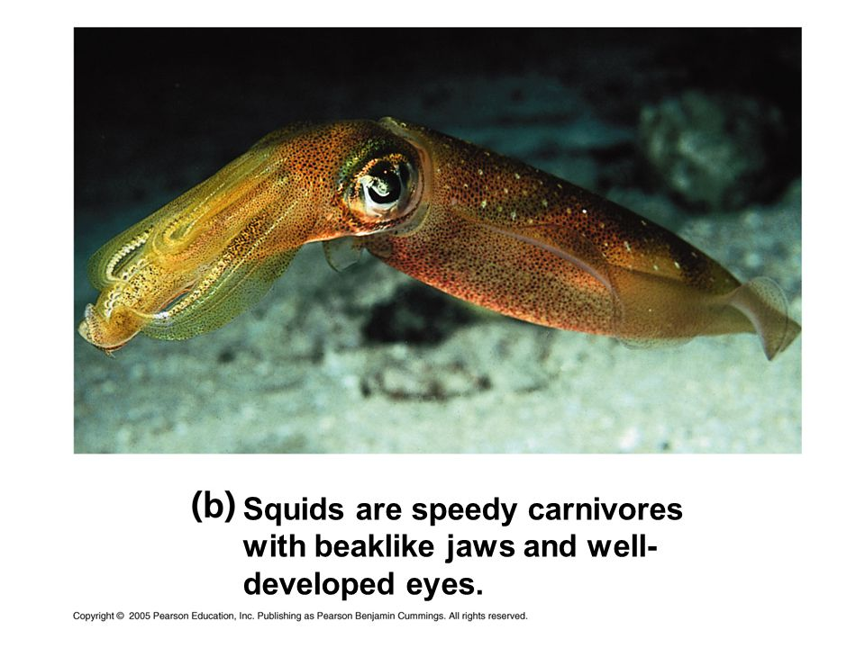 Squids are speedy carnivores with beaklike jaws and well-developed eyes.