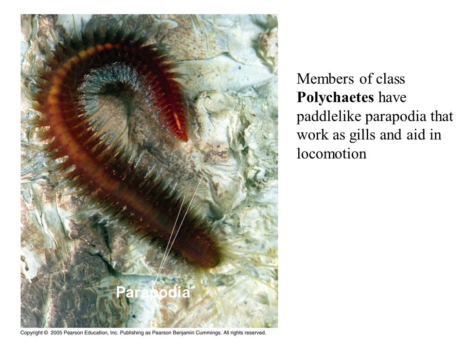 Members of class Polychaetes have paddlelike parapodia that work as gills and aid in locomotion