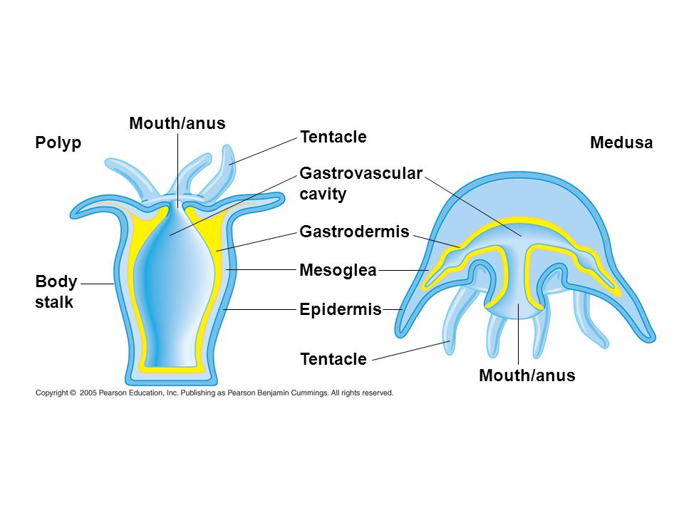 Mouth/anus Tentacle. Polyp. Medusa. Gastrovascular. cavity. Gastrodermis. Mesoglea. Body. stalk.