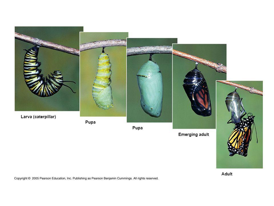 Larva (caterpillar) Pupa Pupa Emerging adult Adult