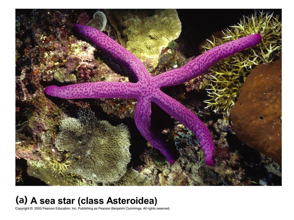 A sea star (class Asteroidea)
