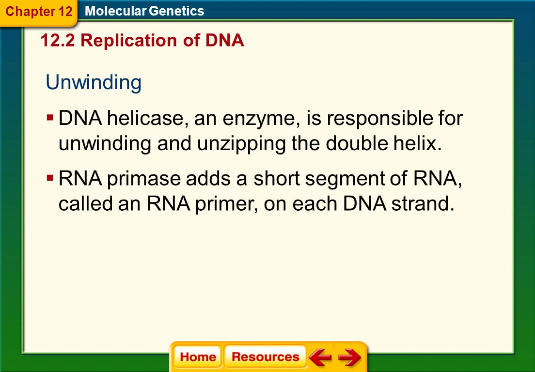 Chapter 12 Molecular Genetics. 12.2 Replication of DNA. Unwinding.