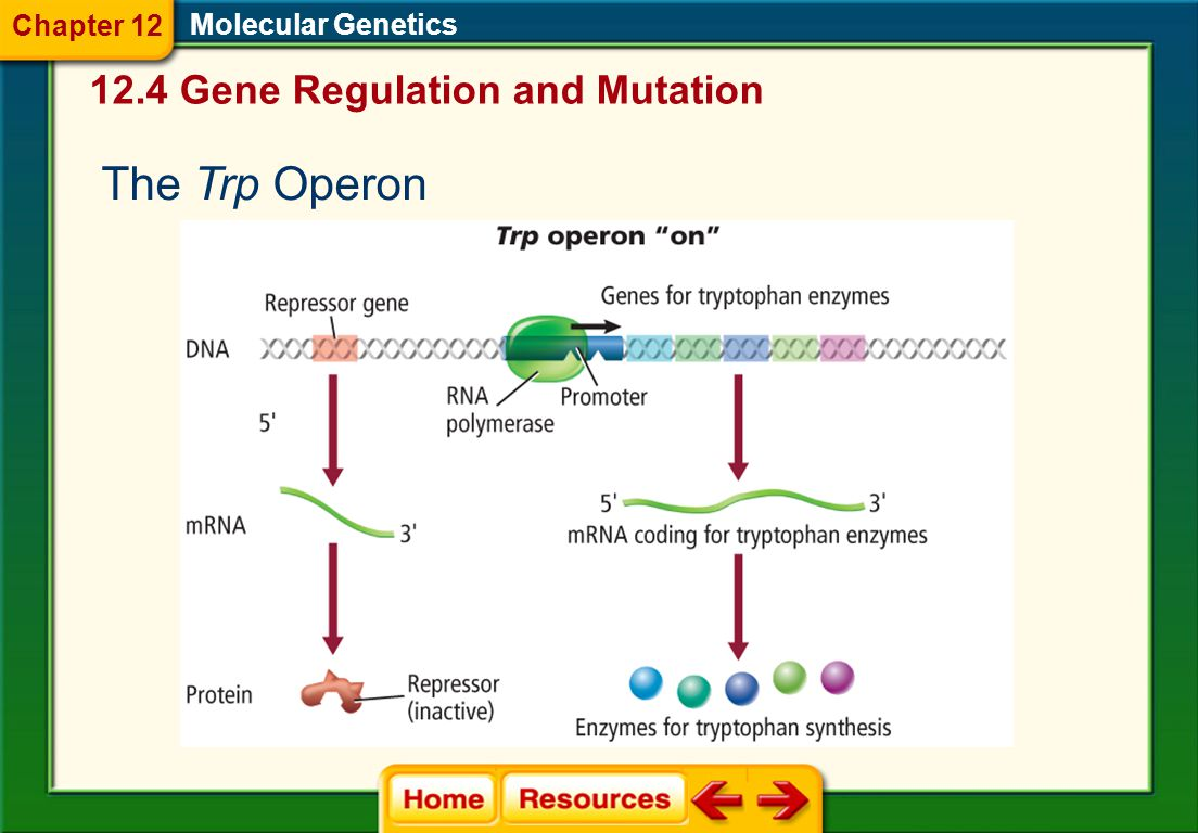 The Trp Operon 12.4 Gene Regulation and Mutation Chapter 12