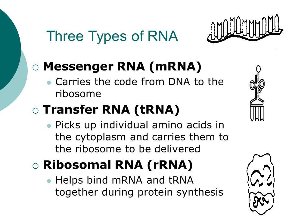 Three Types of RNA Messenger RNA (mRNA) Transfer RNA (tRNA)