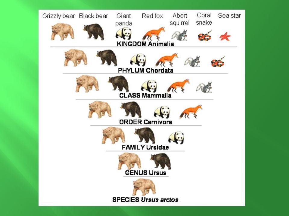 Ursidae = bears