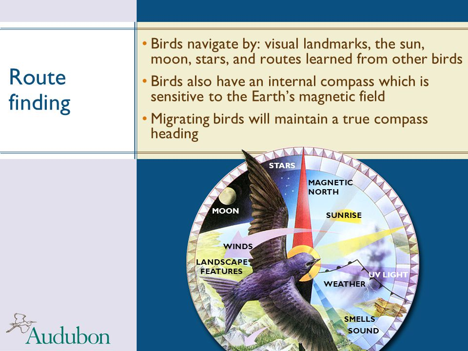 Route finding Birds navigate by: visual landmarks, the sun, moon, stars, and routes learned from other birds.