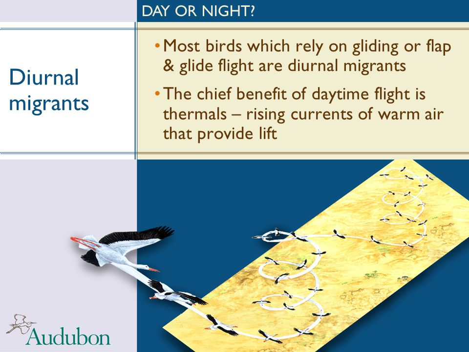 DAY OR NIGHT Diurnal migrants. Most birds which rely on gliding or flap & glide flight are diurnal migrants.