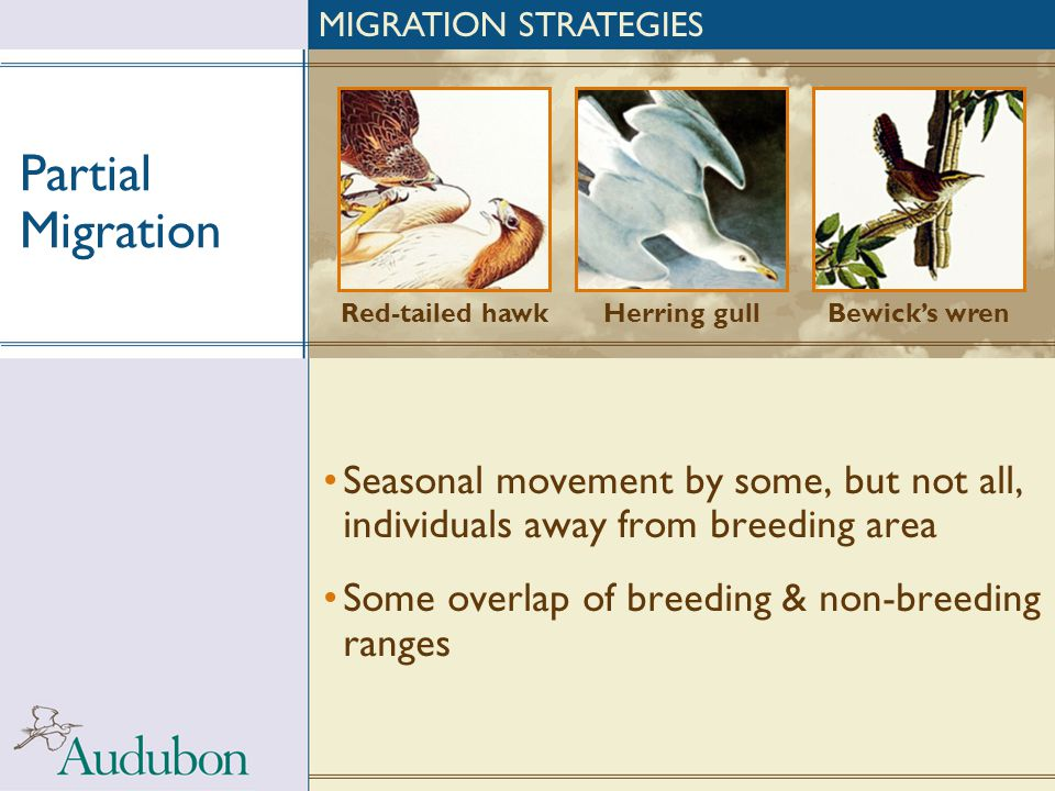 MIGRATION STRATEGIES Partial Migration. Red-tailed hawk. Herring gull. Bewick's wren.