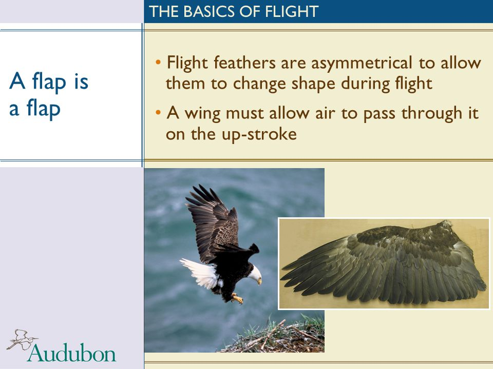 THE BASICS OF FLIGHT A flap is a flap. Flight feathers are asymmetrical to allow them to change shape during flight.