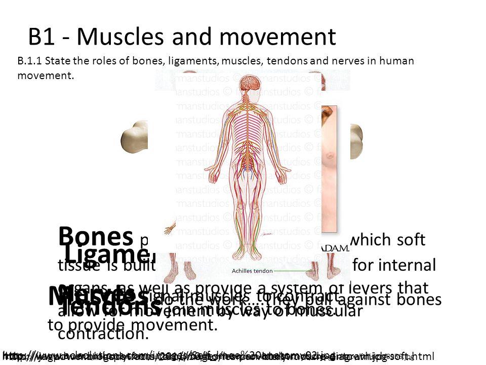 Ligaments hold bones together